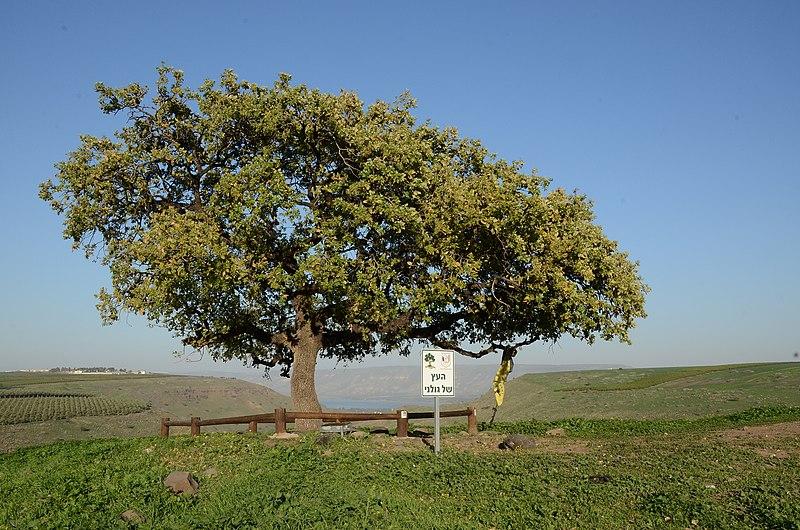 אלון התבור העץ של גולני