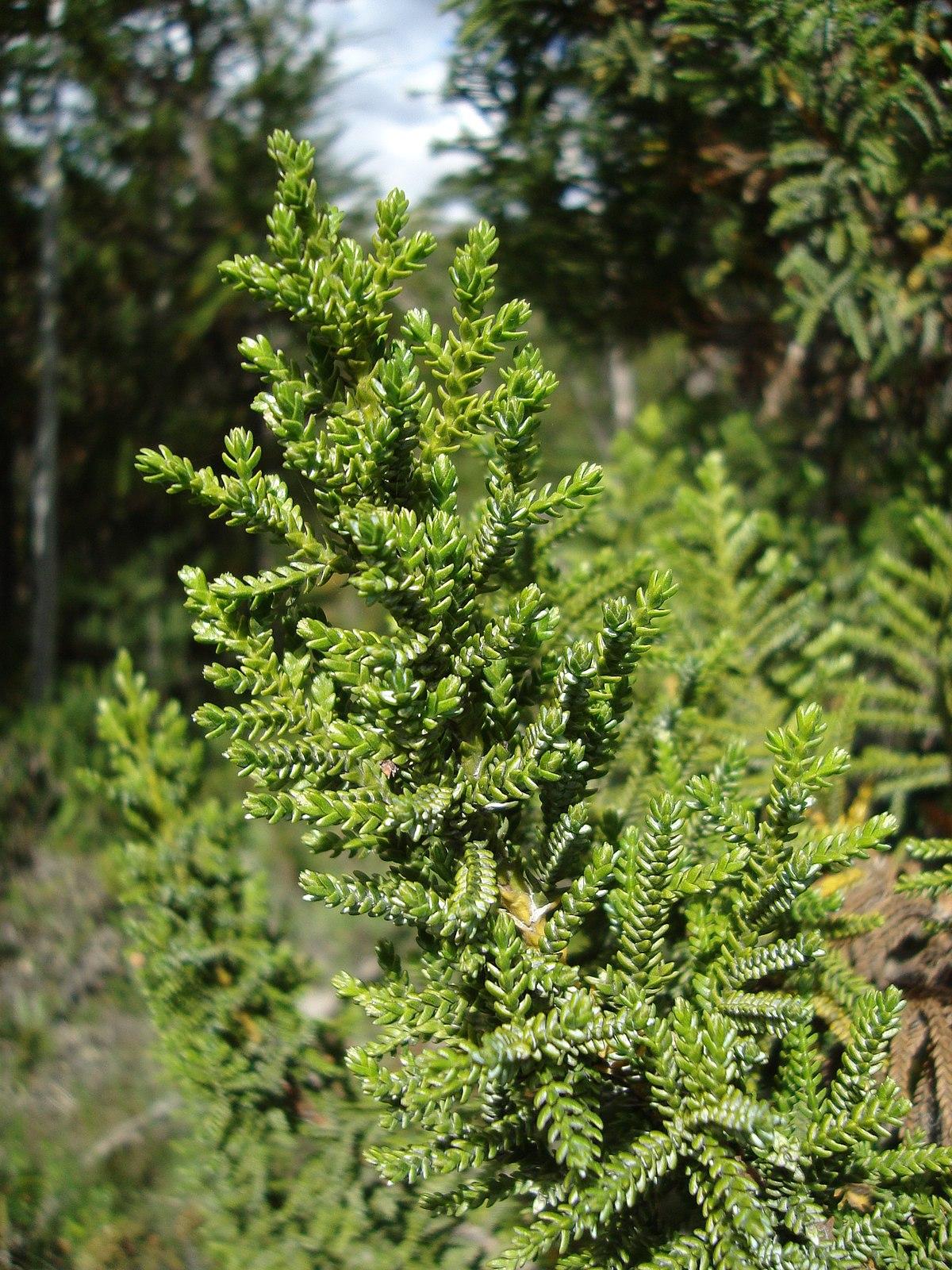 Pilgerodendron uviferum  Wikipedia la enciclopedia libre
