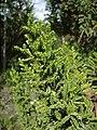 Pilgerodendron uviferum.jpg