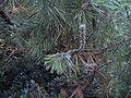Pine sawfly 2.JPG
