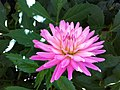 Pink Sunflower.jpg