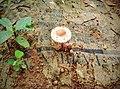 Pink mushroom after rain on newspaper .jpg