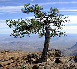 Pinus cembroides Chisos 2.jpg