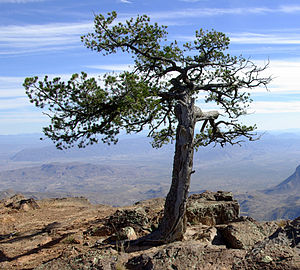 Pinus cembroides in den Chisos Mountains, Big-Bend-Nationalpark, Texas
