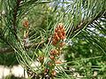 Pinus densiflora3.jpg