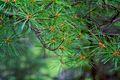 Pinus strobus foliage Adirondacks.jpg