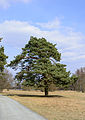 Pinus sylvestris - Wald-Kiefer - Wald-Föhre.jpg