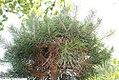 Pinus sylvestris 18zz.jpg