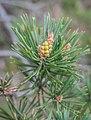 Pinus sylvestris in Aveyron (1).jpg
