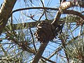 Pinus torreyana cone.jpg