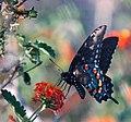 Pipevine Swallowtail (252039111).jpg