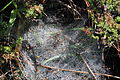Pisauridae Euprosthenopsis 2012 07 29 7908.JPG