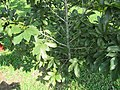 Pistacia vera (Pistachio) tree in RDA, Bogra 04.jpg