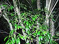 Pittosporum lancifolium Coffs.jpg