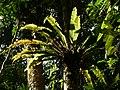 Plant Fern Bird Nest Asplenium P1120347 04.jpg