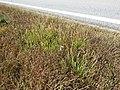 Plantago coronopus sl50.jpg