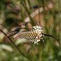 Plantago lanceolata-Plantain lancéolé-Inflorescence-20210329.jpg