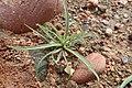 Plantago ovata kz03.jpg