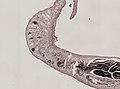Pleioplana atomata (YPM IZ 073814) 41.jpeg