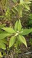 Pluchea carolinensis 64089507.jpg