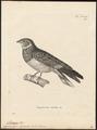 Podager nacunda - 1700-1880 - Print - Iconographia Zoologica - Special Collections University of Amsterdam - UBA01 IZ16700061.tif