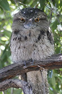 Podargus strigoides -Tawny Frog Mouth perching in tree.jpg