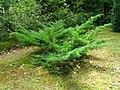 Podlaskie - Suprasl - Kopna Gora - Arboretum - Juniperus horizontalis 'Plumosa' - plant.JPG