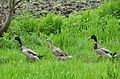 Poertschach Brockweg Laufenten 04052013 166.jpg