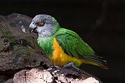 Poicephalus senegalus -Artis Zoo -Netherlands-8a.jpg