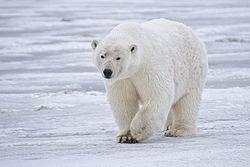 zonas climaticas del mundo 250px-Polar_Bear_-_Alaska
