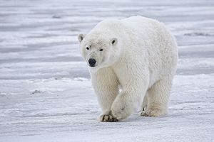 English: Sow Polar Bear (Ursus maritimus) near...