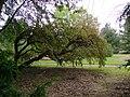 Polylepis australis at Dundee Botanic Garden 2.jpg