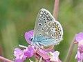 Polyommatus icarus ♂ - Common blue (male) - Голубянка икар (самец) (39225781970).jpg