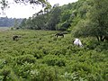 Ponies grazing south of Matley Bog, New Forest - geograph.org.uk - 189379.jpg