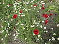 Poppies in Kfar Nin, Israel 13.jpg