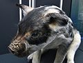 Porc mangalica, antiga raça del porc domèstic, exposició del Regne de la sal, Alacant.JPG