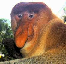 Proboscis monkey - Wikipedia, the free encyclopedia