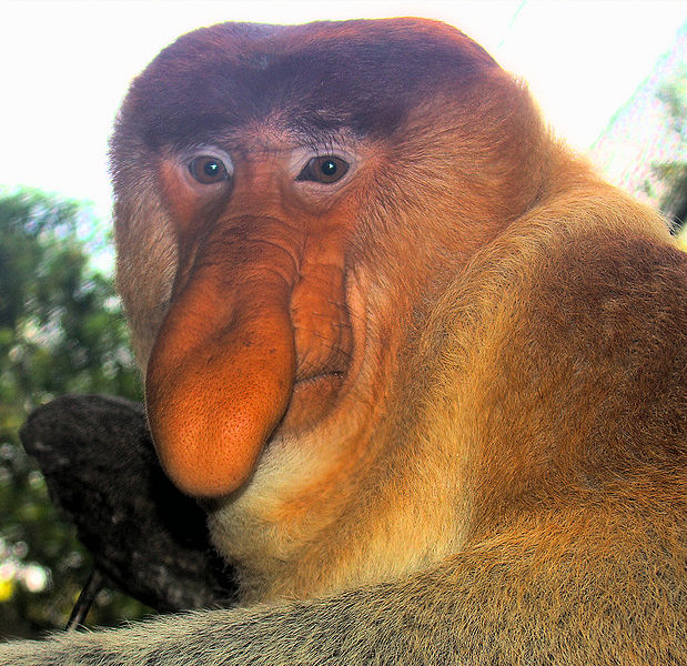 File:Portrait of a Proboscis Monkey.jpg