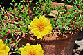 Portulaca grandiflora, Burdwan, 30032014 (9).jpg