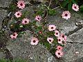 Potentilla x hopwoodiana - Flickr - peganum.jpg