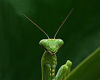 Praying mantis portrait edit33.jpg