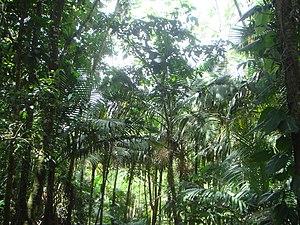 Prestoea montana - Image: Prestoea montana 1