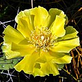 Pricklypear Sunshine! (6828060490).jpg