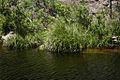 Prionium serratum05.jpg