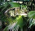 Pritchardia kaalae (4761480307).jpg