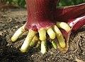 Prop roots of maize (5480649879).jpg