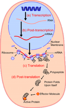 Within The Nucleus Of Cell Light Blue Genes Dna Dark Are Transcribed Into Rna This Is Then Subject To Post Transcriptional Modification
