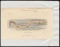 Proteus anguinus - 1700-1880 - Print - Iconographia Zoologica - Special Collections University of Amsterdam - UBA01 IZ11400205.tif