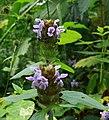 Prunella vulgaris Kiev2.jpg