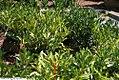 Prunus laurocerasus Otto Luyken 2zz.jpg